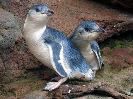 Akaroa Pohatu Penguins