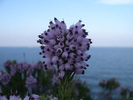 The Cap Corse flora