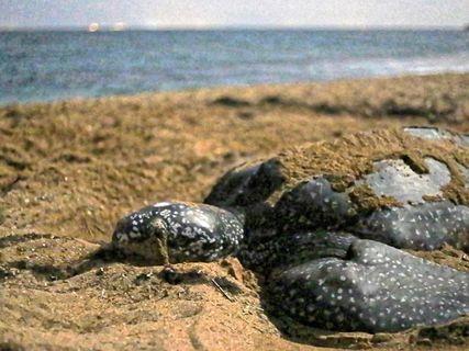 Gaïac association tortues