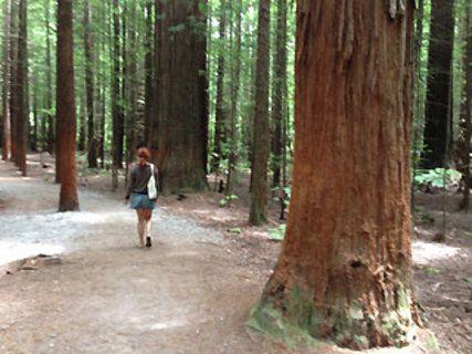 The Redwoods - Whakarewarewa Forest