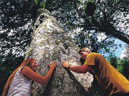 Waiomu Kauri Grove