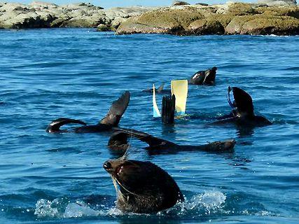 Seal Swim Kaikoura