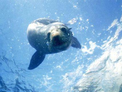 Topspot Seal Swim