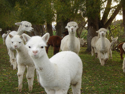 Silverstream Alpaca Farmstay